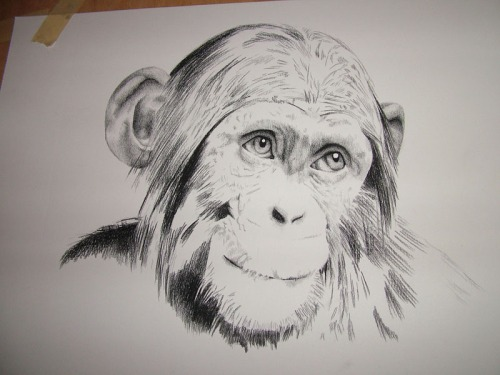 Mubusu Chimpanzee Portrait Drawing