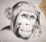 black and white charcoal chimpanzee drawing