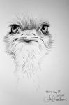 Misfit Ostrich Ink drawing by Alecia Goodman