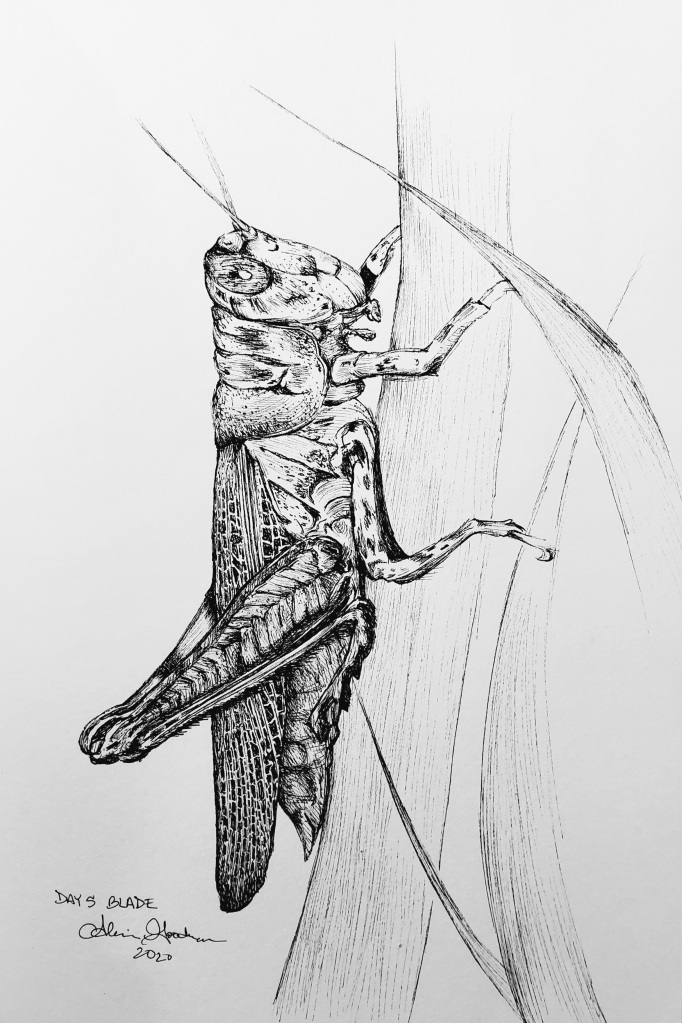 Inktober Day 5 Blade grasshopper ink drawing by alecia goodman 2020 to present